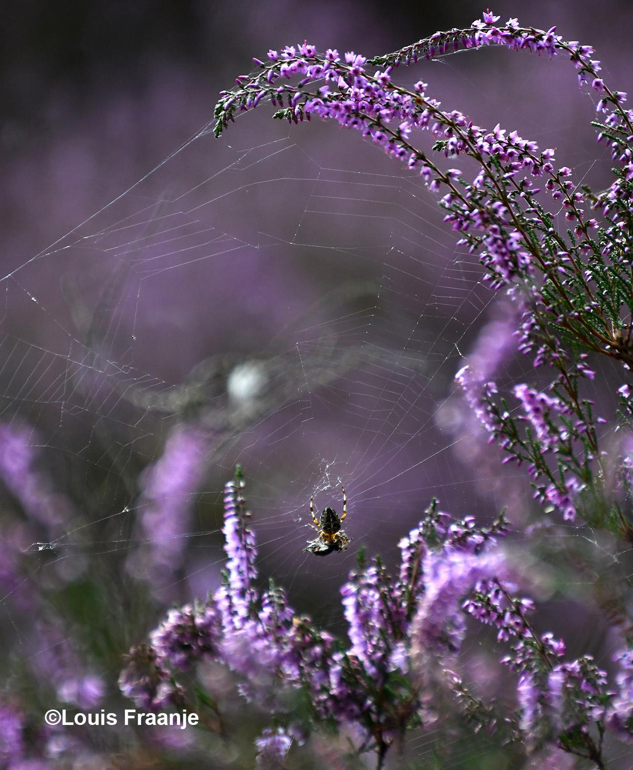 De honingbij wordt - letterlijk en figuurlijk - helemaal ingepakt door de kruisspin - Foto: ©Louis Fraanje