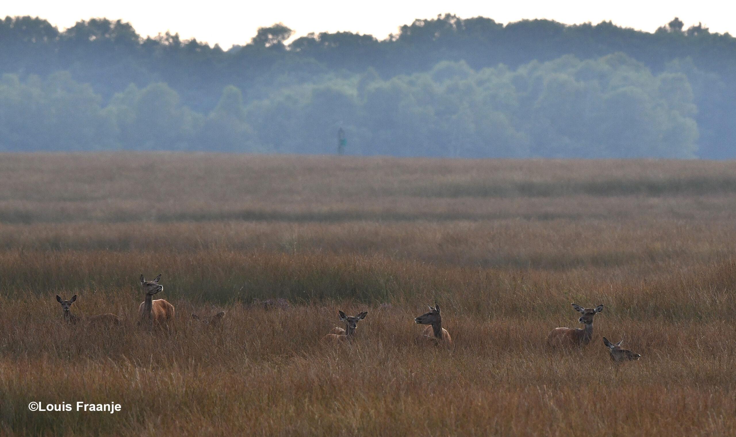 De hindes staan in het hoge gras en kijken om zich heen - Foto: ©Louis Fraanje