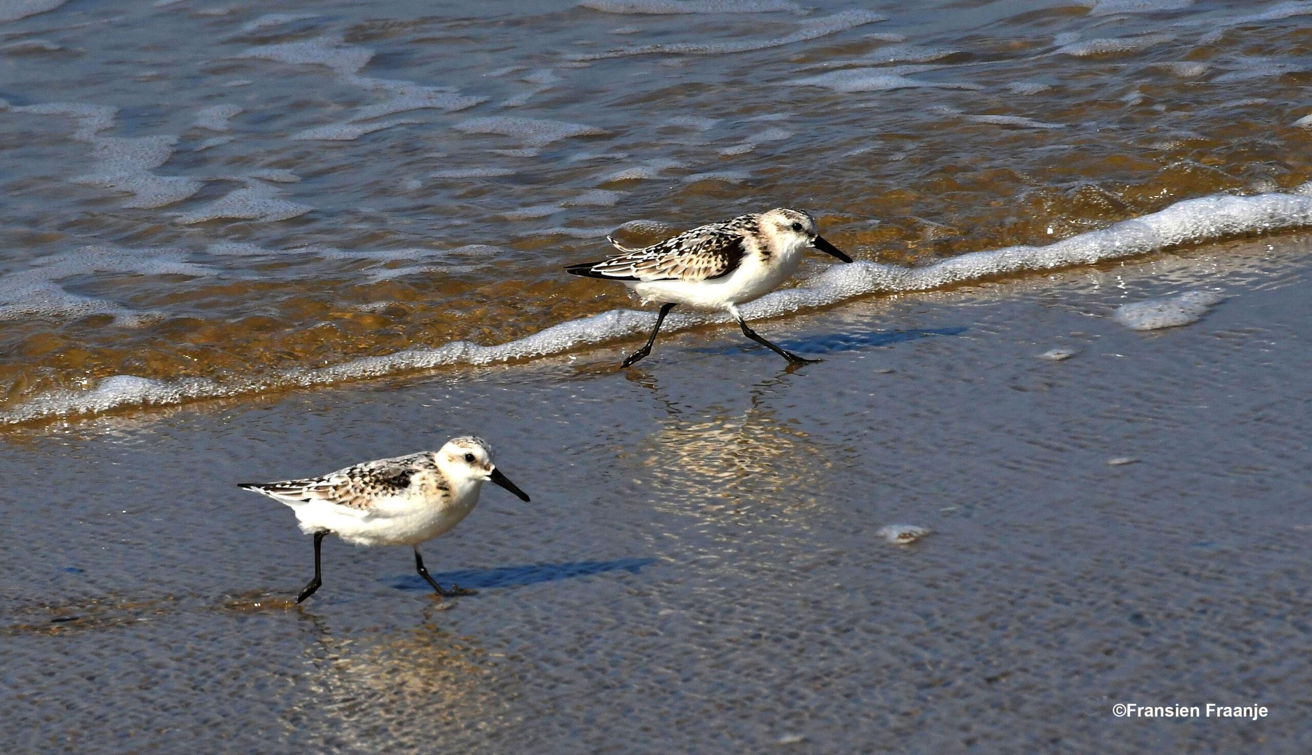 Drieteenstrandlopertjes, terwijl ze op en neer aan het rennen waren met de rollende golven langs de vloedlijn - Foto: ©Fransien Fraanje
