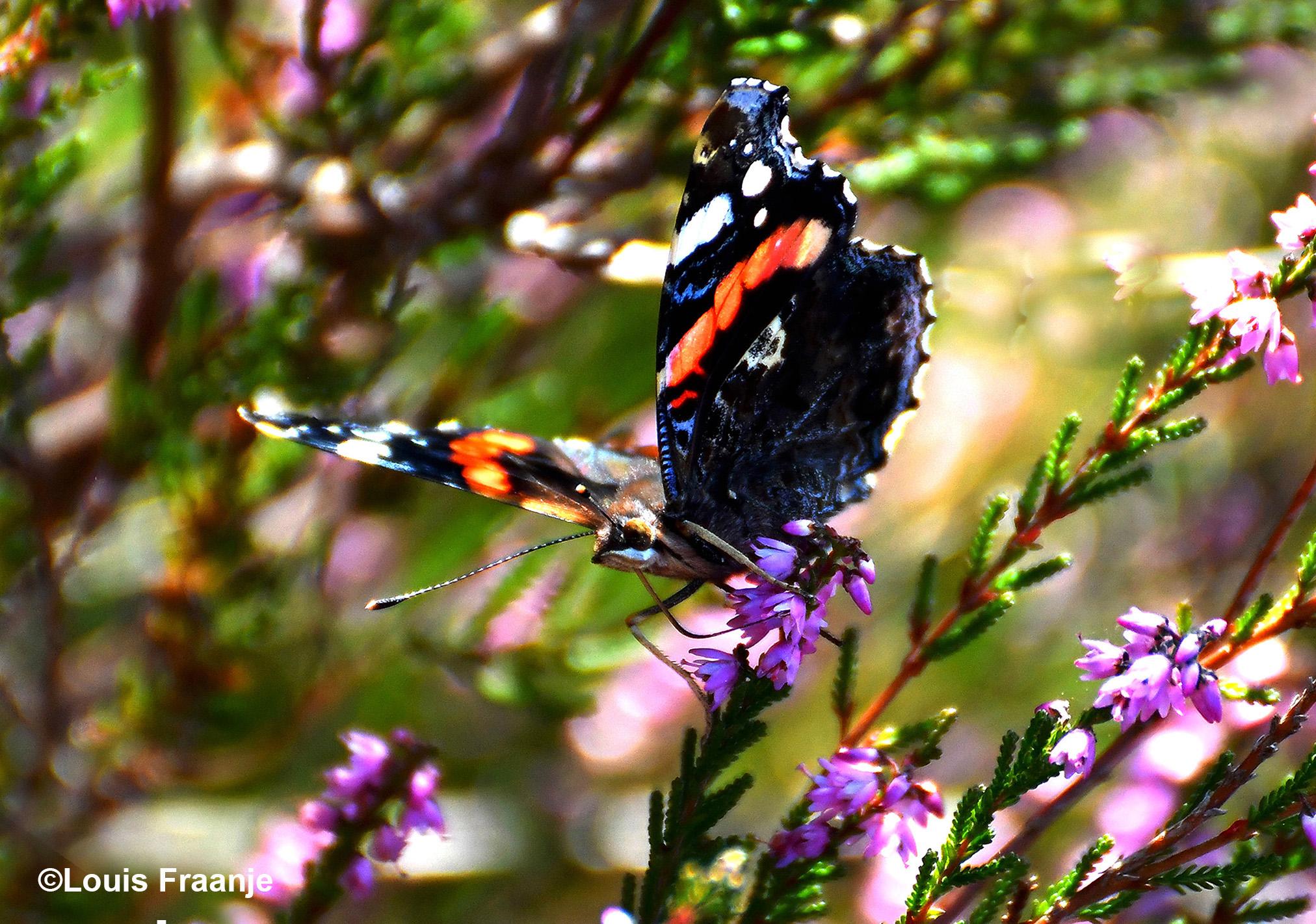 Op deze afbeelding kun je heel duidelijk zien, hoe de vlinder met haar slurfje de nectar opzuigt uit het heidebloempje - Foto: ©Louis Fraanje