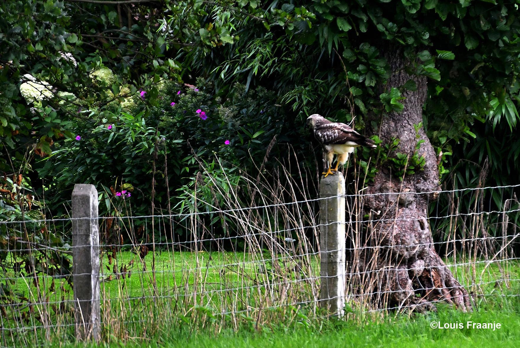 Maar als je goed en wel in positie bent, om een goede foto te maken... dan neemt de buizerd ook positie en...- Foto: ©Louis Fraanje