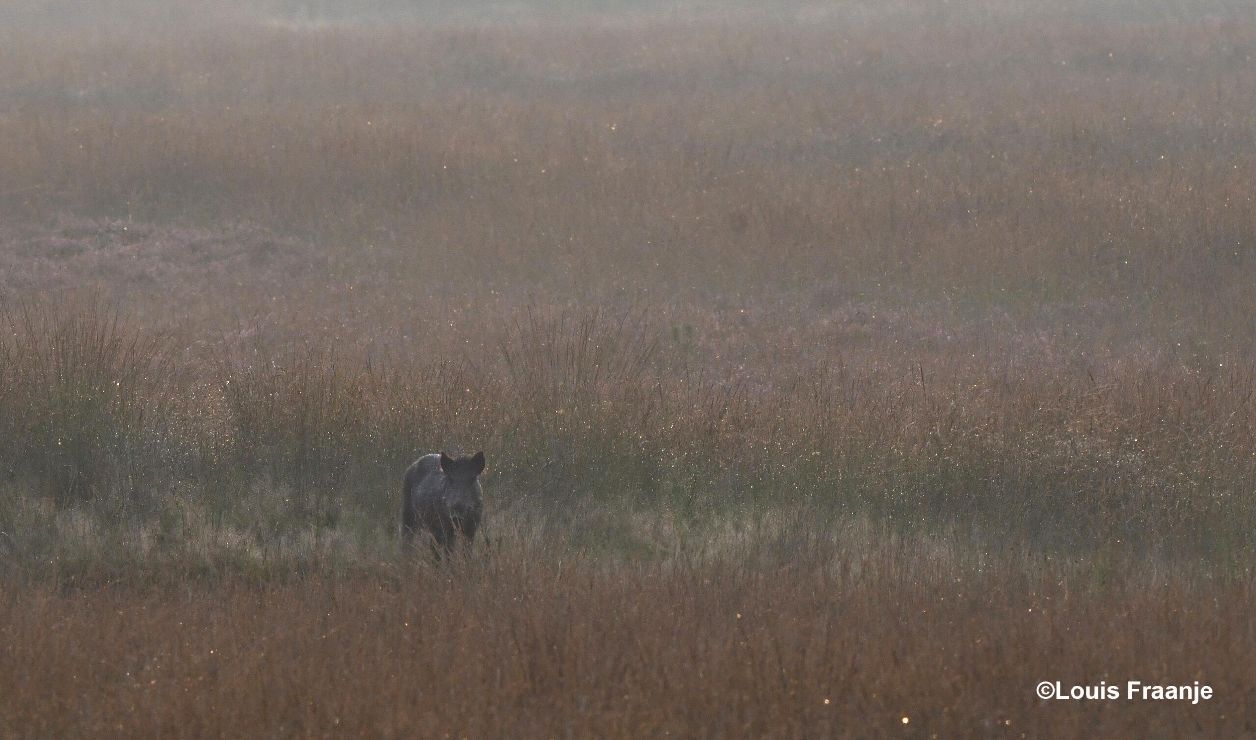 Na verloop van tijd verschijnt er een wild zwijn op het toneel - Foto: ©Louis Fraanje