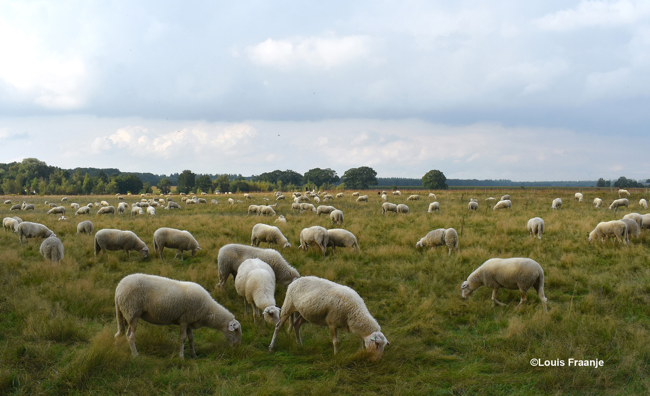 De kudde schapen bij Eethuis Airborne in Renkum - Foto: ©Louis Fraanje