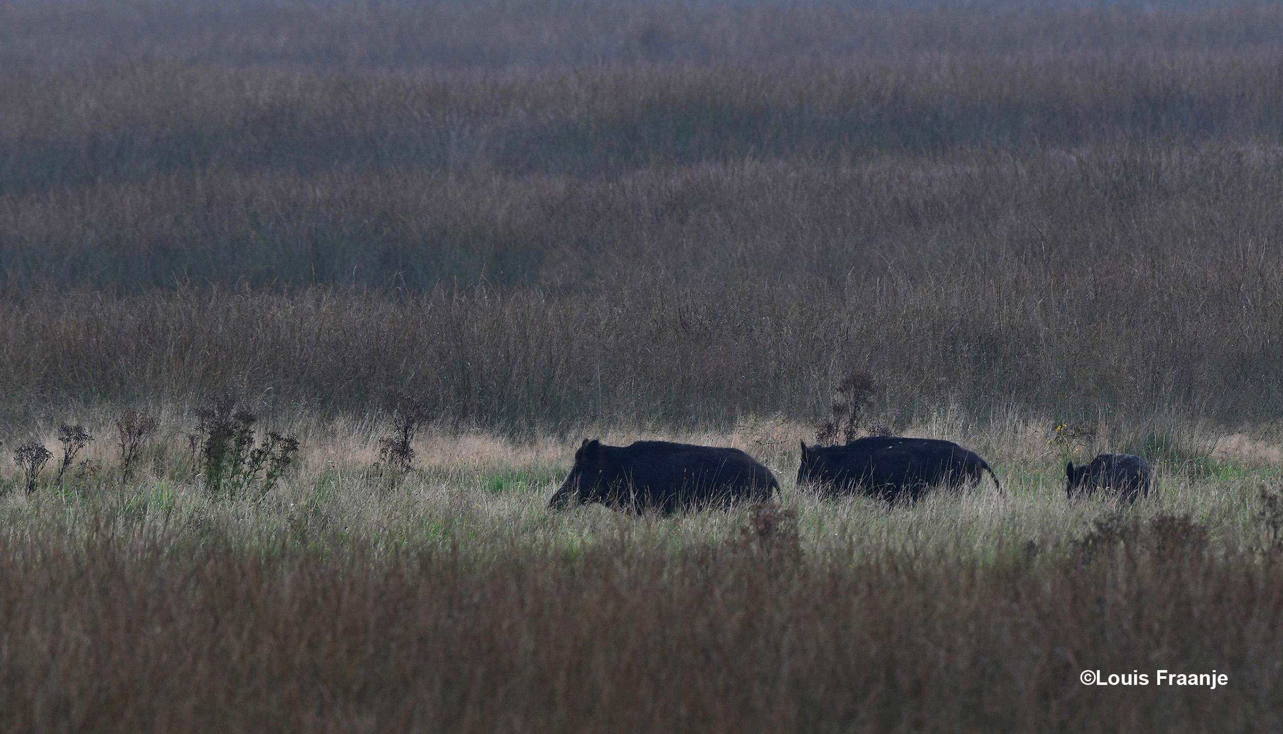 En nog een soortgenoot, met daarachter een overloper - Foto: ©Louis Fraanje