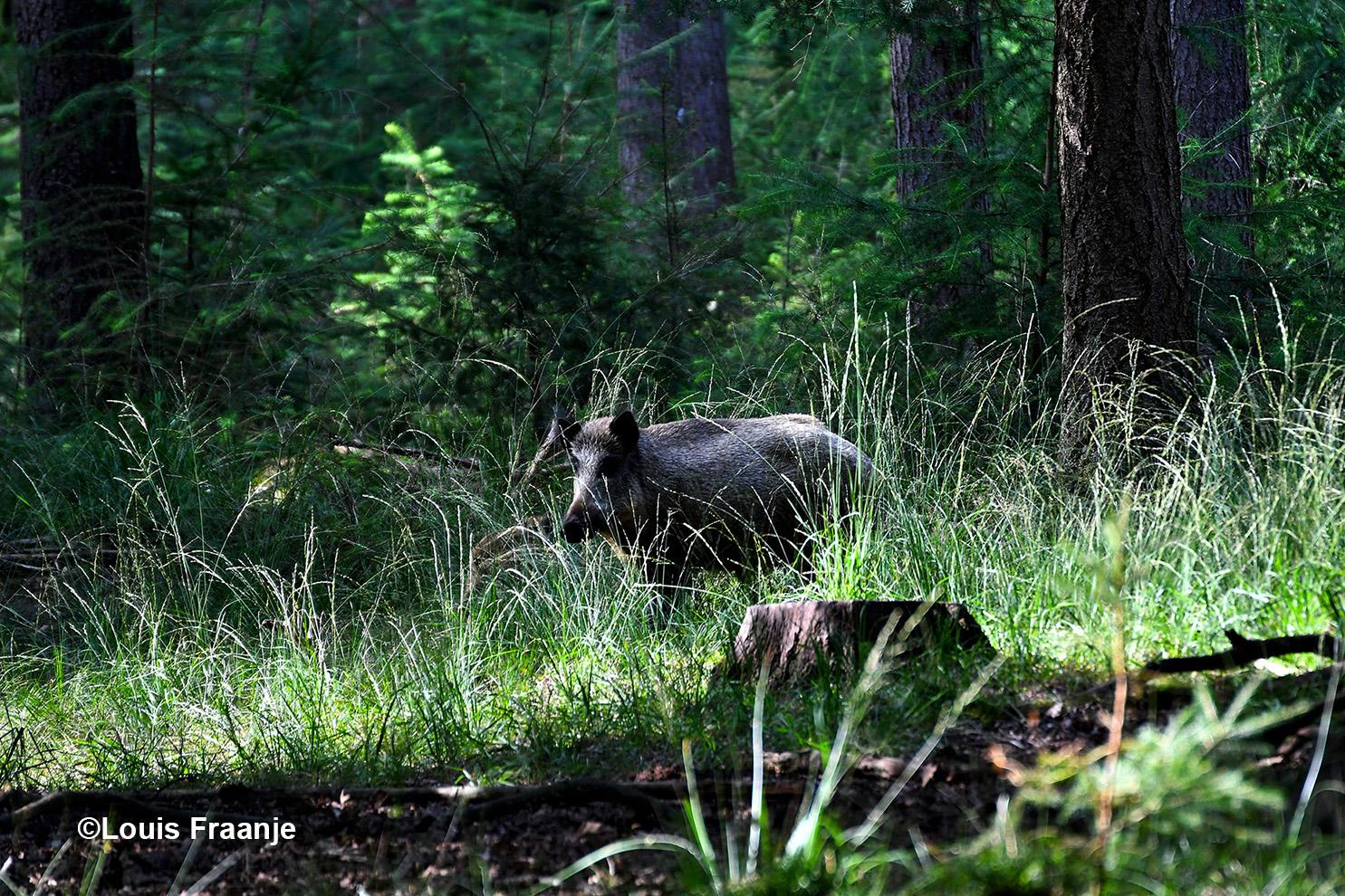Halverwege richting Uddel... ja hoor een wild zwijn aan de bosrand - Foto: ©Louis Fraanje