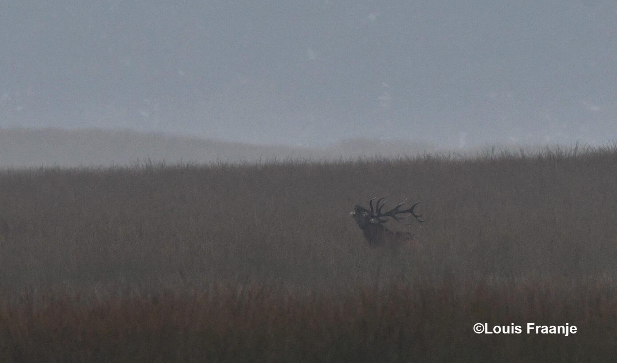 Het plaatshert laat zijn bronstroep over het Reemsterveld galmen - Foto: ©Louis Fraanje