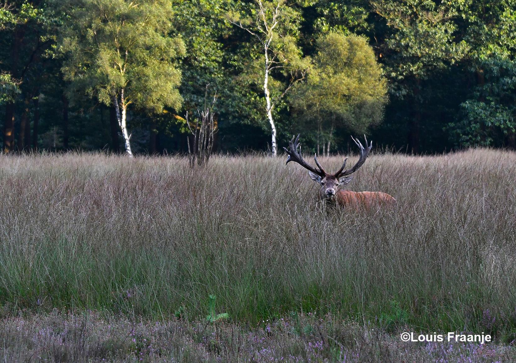 Dan kijkt hij vanuit het hoge gras eens rustig om zich heen - Foto: ©Louis Fraanje