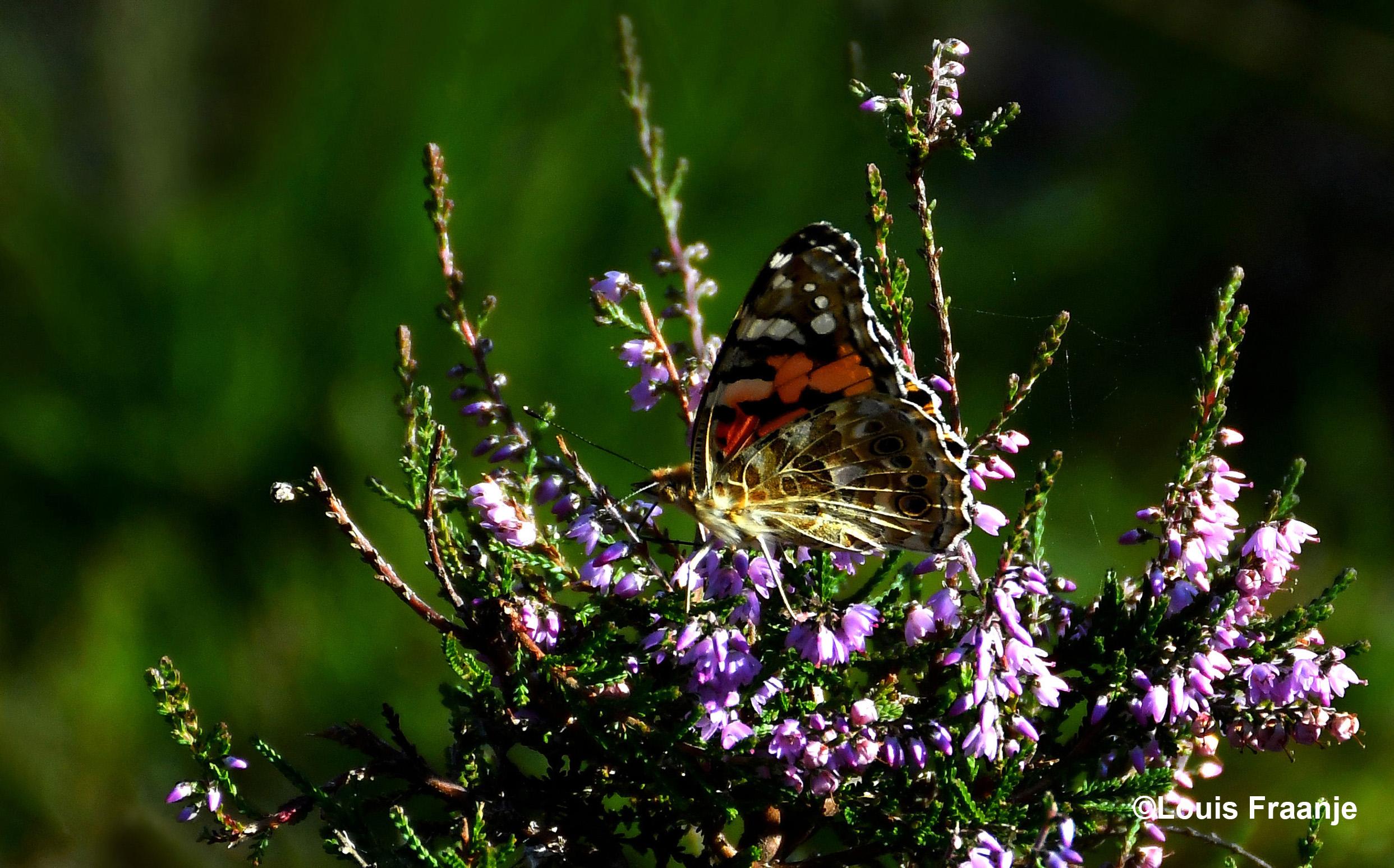 Een prachtige Distelvlinder op een heidestruik - Foto: ©Louis Fraanje