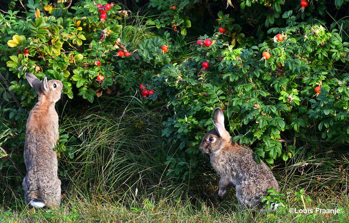 Lekker samen snoepen van de rozenbottels - Foto: ©Louis Fraanje