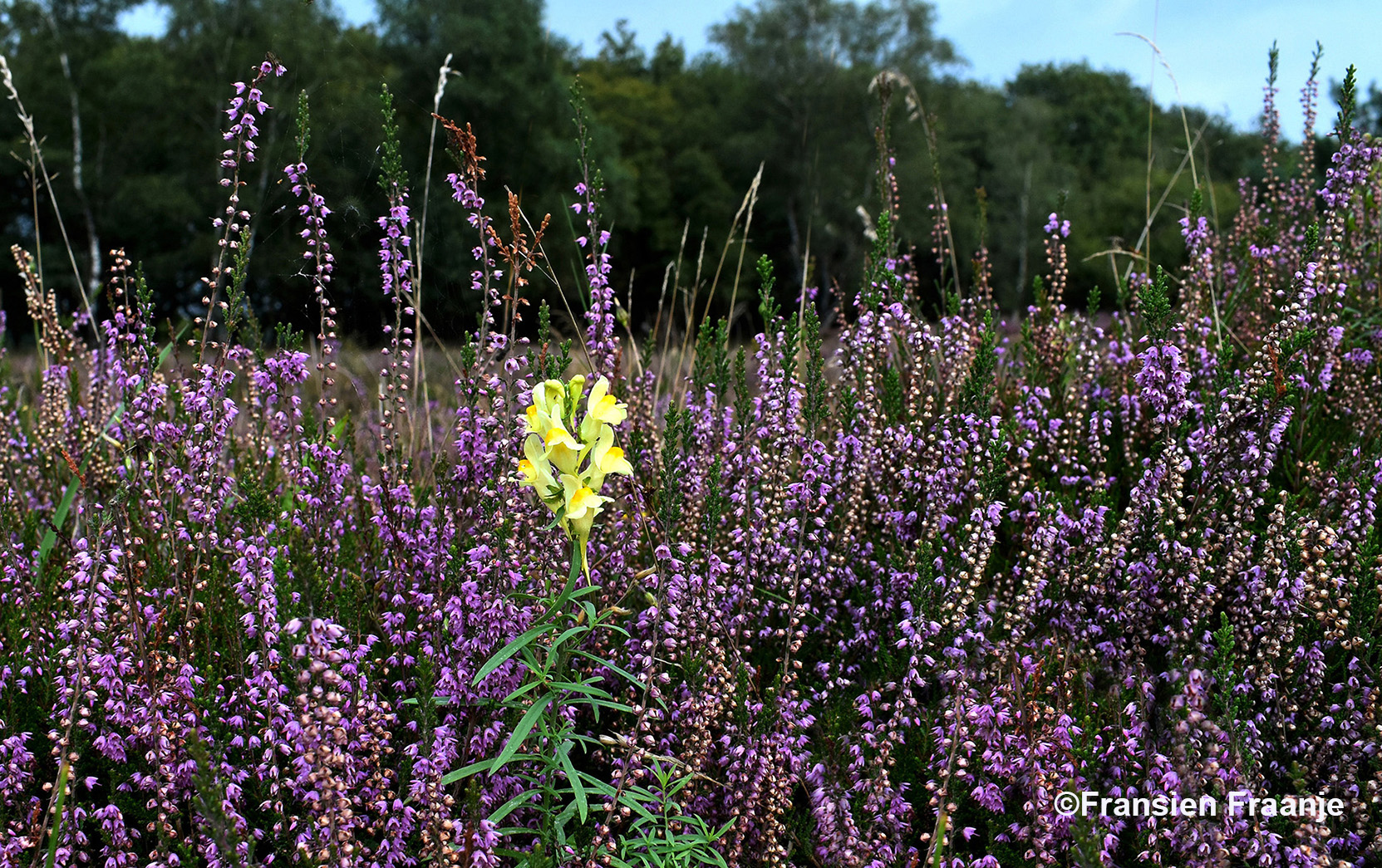 Zomaar tussen al die paarse Heidebloempjes, een prachtig geel/wit Vlasleeuwenbekje - Foto: ©Fransien Fraanje