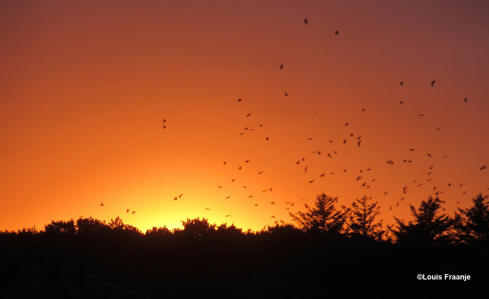 Een grote zwerm vogels, begeleidt een schitterende zonsondergang in de duinen van De Koog- Foto: ©Louis Fraanje