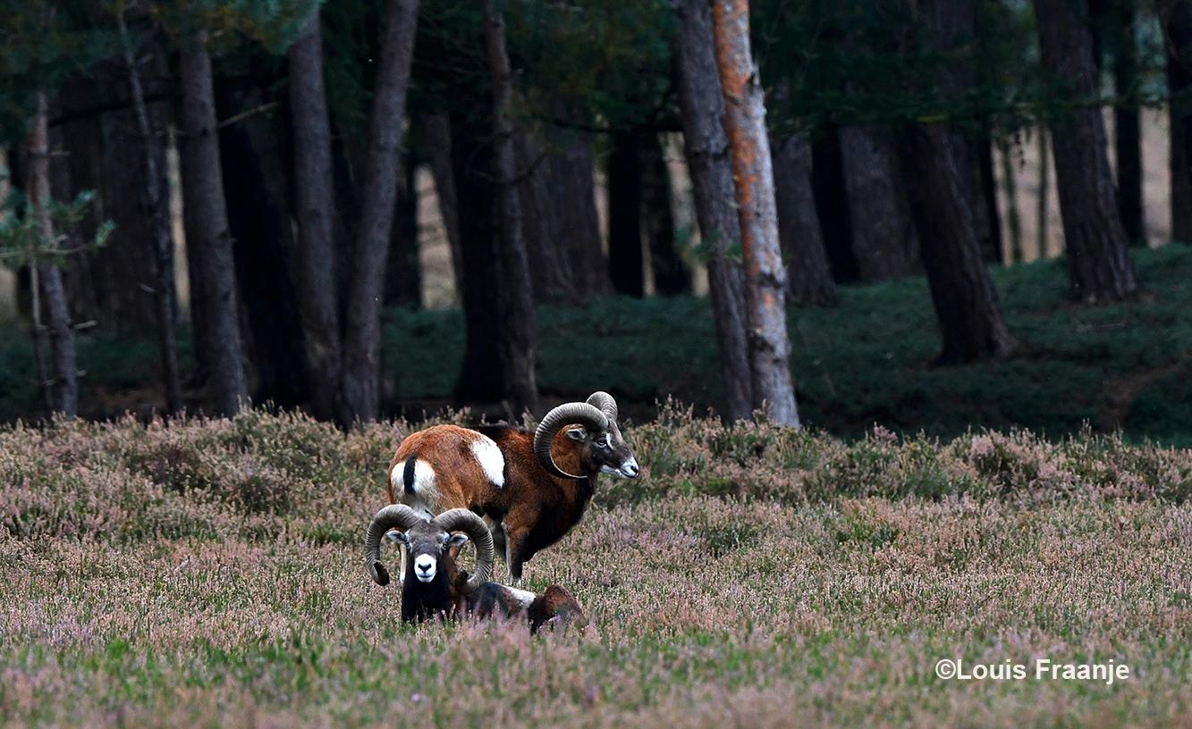 Oog in oog met twee prachtige moeflonrammen - Foto: ©Louis Fraanje
