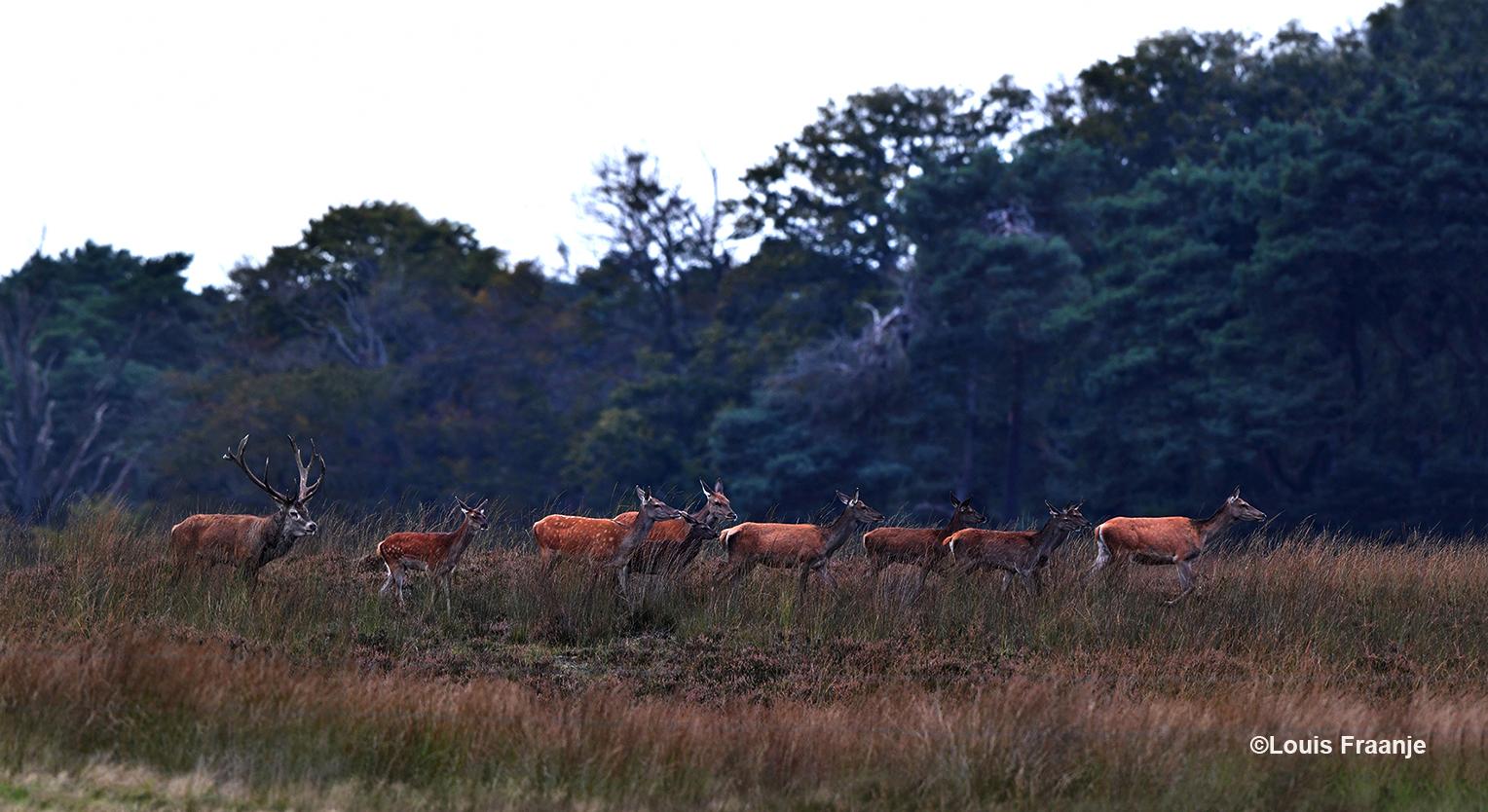 Helemaal achteraan loopt het plaatshert die het roedel naar de wildweide probeert te drijven - Foto: ©Louis Fraanje
