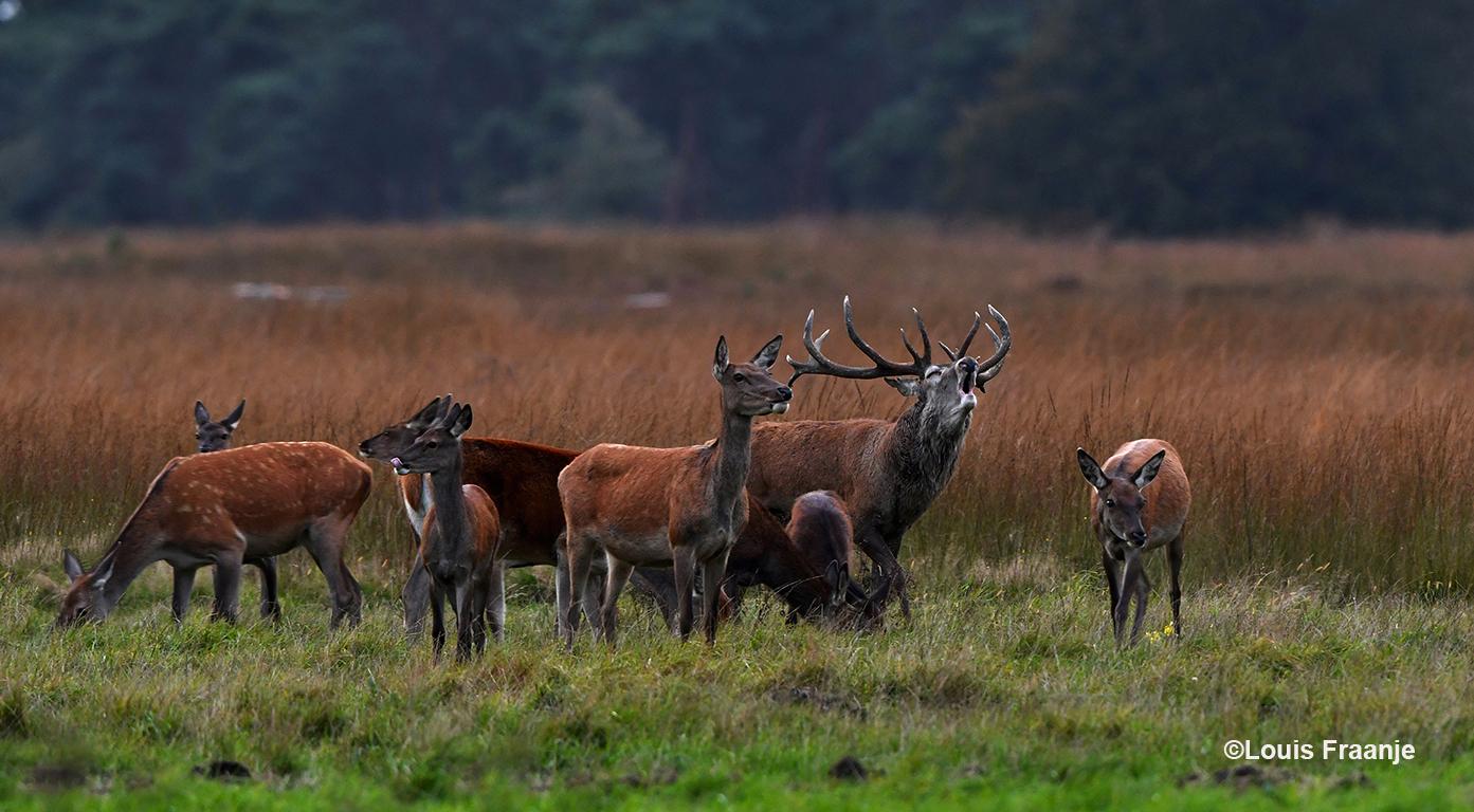 Eenmaal aangekomen op de wildweide liet hij zijn oergeluid over het Reemsterveld horen - Foto: ©Louis Fraanje