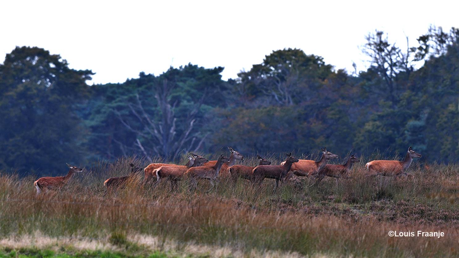 De leidhinde wordt op de voet gevolgd door een tiental stuks kaalwild - Foto: ©Louis Fraanje