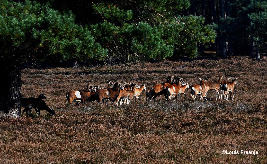 Een kudde moeflons trekt over de Veluwse heide - Foto: ©Louis Fraanje