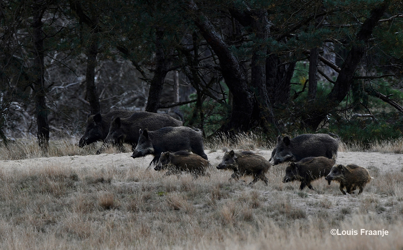 Ineens kwamen er vanuit de bosrand een aantal zwijnen het open veld op rennen - Foto: ©Louis Fraanje
